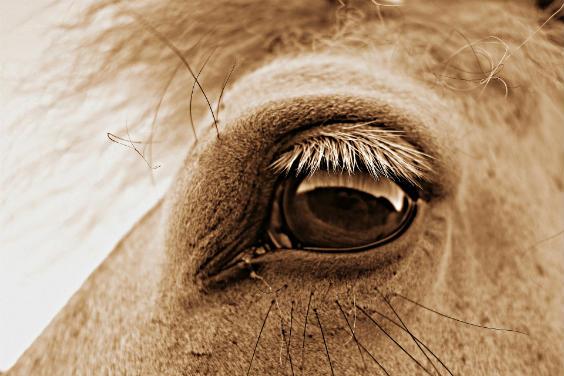 pferd auge 564