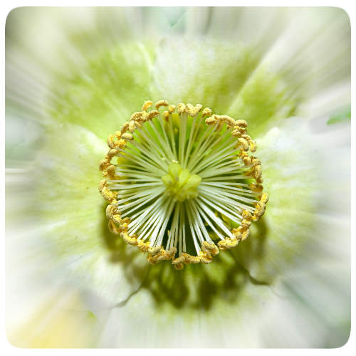 christrose bluete