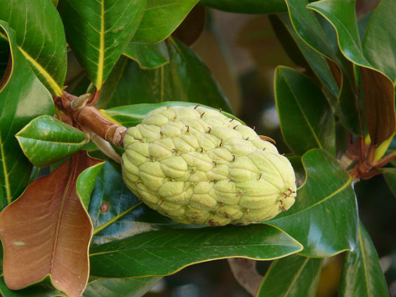 ficus elastica frucht e 564