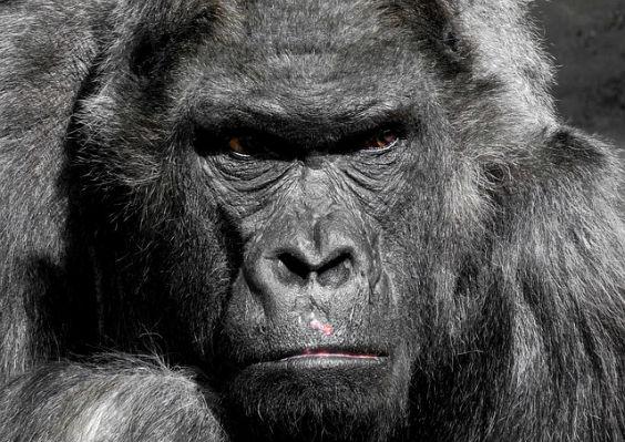 gorilla grimmig 564