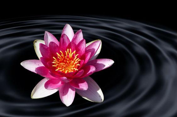 lotus see dunkel 98 564