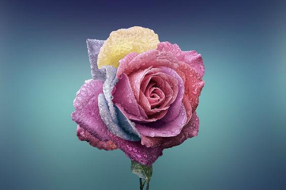 rose bunt blau u 564