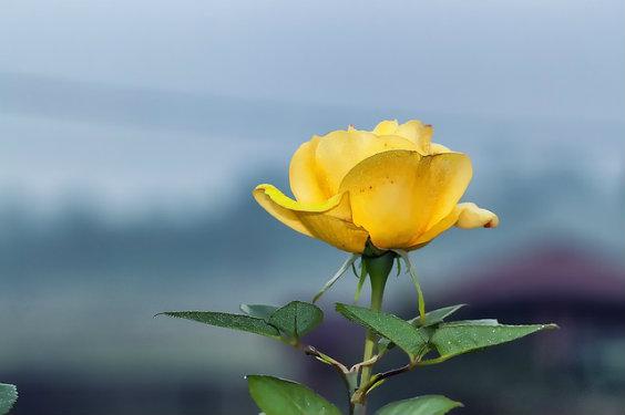 rose gelb subtil u 564