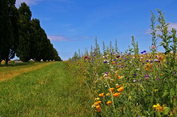 wildblumen rand 02 564